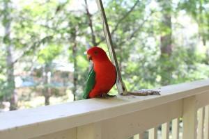 Sydney's comparative advantage — a male King parrot (Alisterus scapularis). Photo © 2011 Alan Miller.