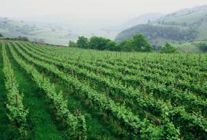 Cantina Anselmi's vines. Photo from anselmi.eu.